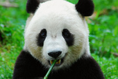 panda-seo